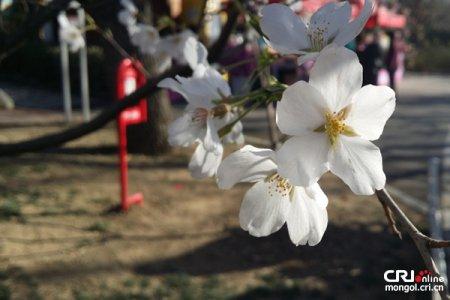 Юй Юань Тань цэцэрлэгт сакура дэлгэрчээ